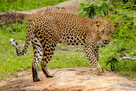Jaguar auf Sri Lanka